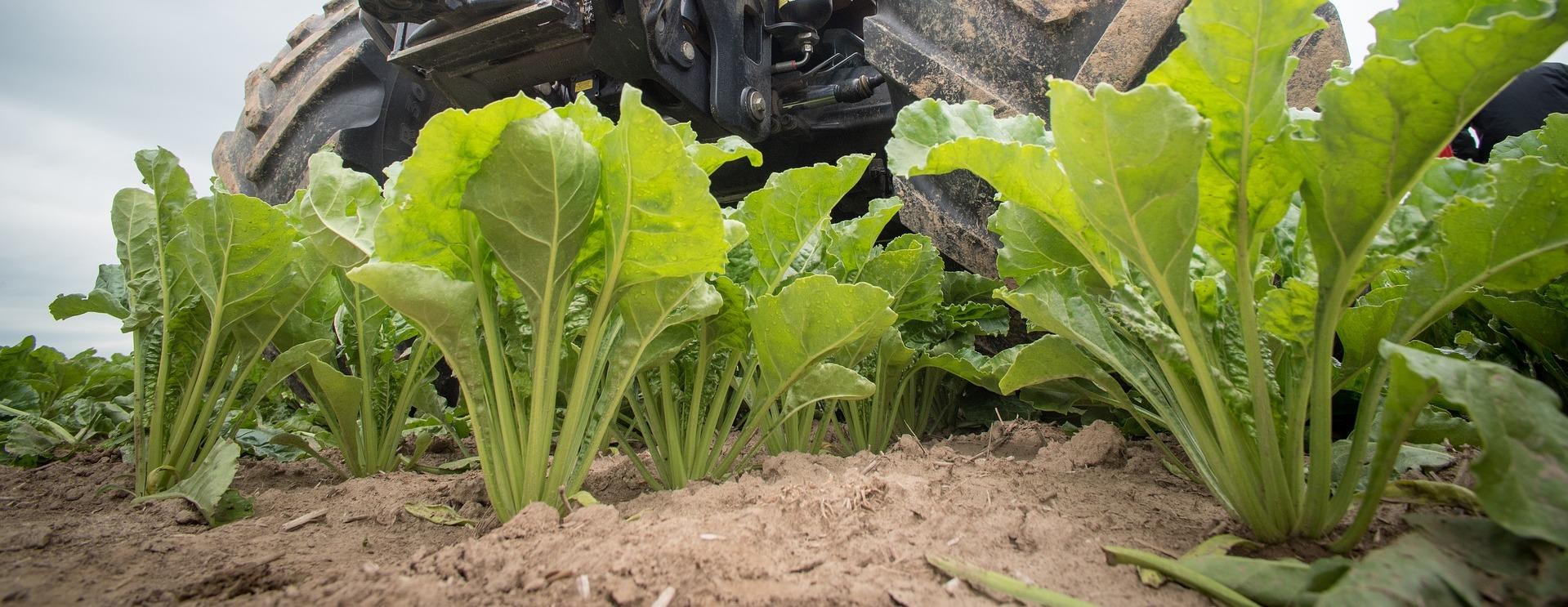 Rusagro va acheter des semences hybrides de betteraves sucrières russes