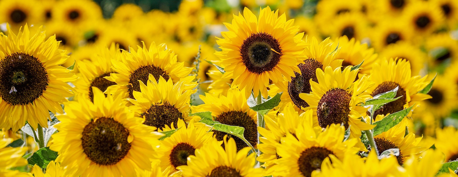 Russian sunflower oil fell 7% in December
